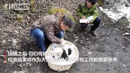 """野外引种产仔的大熊猫""""乔乔""""及其幼仔被成功回捕"""