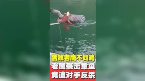 真给鹰族丢脸!老鹰袭击章鱼,竟遭对手反杀