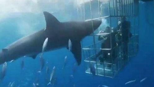 触目惊心!大白鲨攻击潜水员未果 被卡铁笼缝隙惨死在游客面前