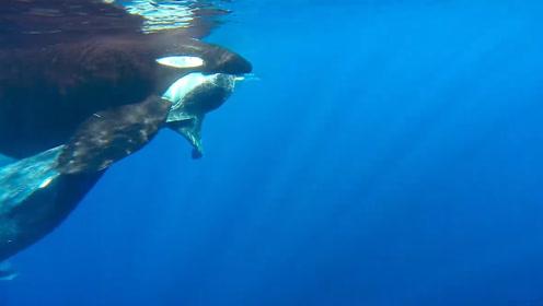 虎鲸以为幼崽还活着,带着它横跨上千公里海域,最后结局令人叹息
