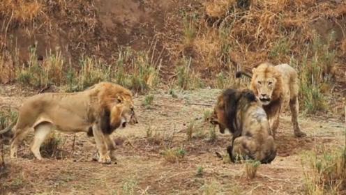 两只雄狮围攻另一只雄狮,场面过于激烈,这是狮王之战?