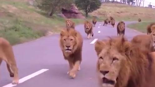 草原雄狮天团出门遛弯,个个霸气十足,根本没动物敢靠近