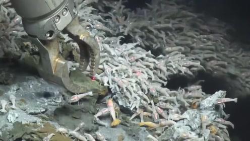 世界上最耐热的虾,生活在火山口的旁边,捕到后该怎么煮熟?