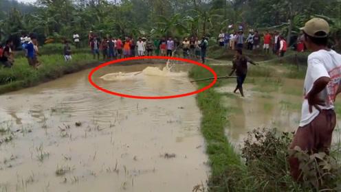 村民正在秧田劳作,田里突然传出大动静,不料一头猛兽冲了出来