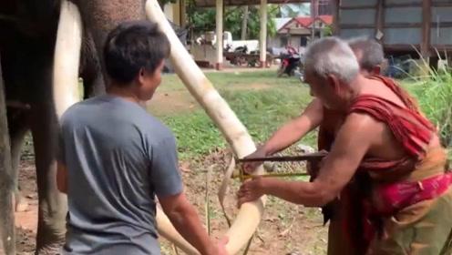 """饲养员割大象的牙齿,以为居心不良,看完才知道是给大象""""保命"""""""