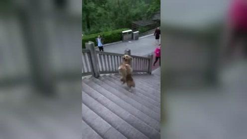 大爷的狗 一般人都不敢养怕它嫌自己笨