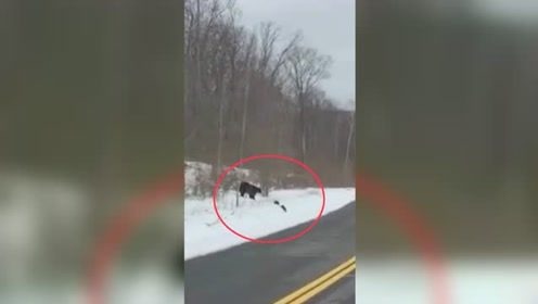 黑熊妈妈带仨崽过马路 其中一崽还差点被落下