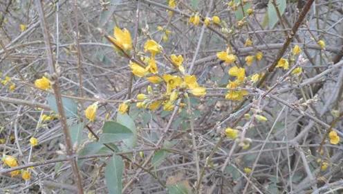 连翘也被气温搞晕!济南公园大片连翘冬天开花