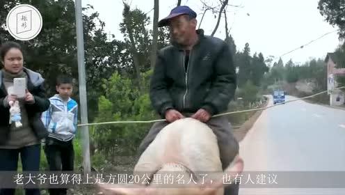老大爷每天骑公猪出门!潇洒快活让人羡慕!镜头拍下全过程!
