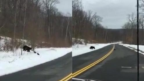 萌哭!黑熊一家四口过马路 一只熊崽掉队熊妈妈立刻把它叼了回来