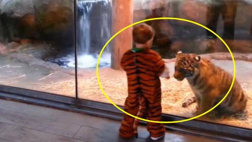 宝宝穿老虎装去动物园,不料被小老虎看到,下一秒小老虎反应太搞笑