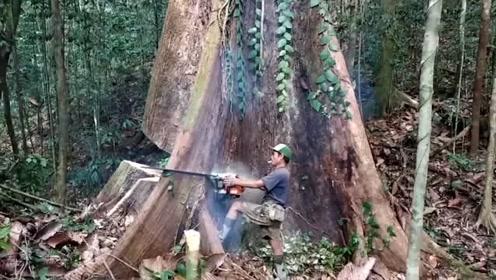 农村伐木工砍伐3米粗的参天大树,真是难为他了