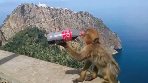 猴子偷走游客一瓶可乐  尝试到味道后 下一秒可逗坏了游客!