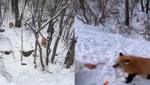 太萌了!冬天树林里食物减少,小狐狸成群上公路讨食