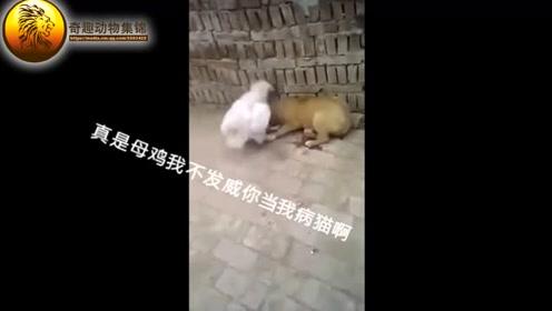 村里最嚣张的鸡,跳着脚的将怂狗一顿叨叨!狗躲在墙角大气不敢出