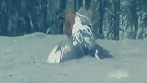两只公鸡正在你死我活的决斗,结果被半路赶来的鸭子截胡了!