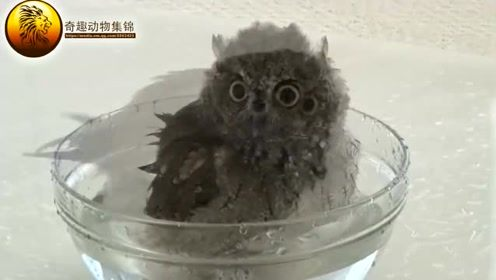 原来猫头鹰是这样洗澡的,洗完在来个全身按摩,全程萌哒哒