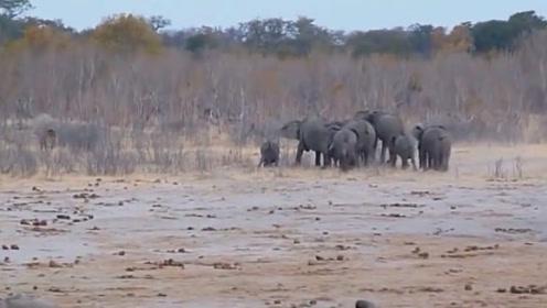 雄狮扳倒一头小象,大象首领率军杀了过去,但结局令人唏嘘!