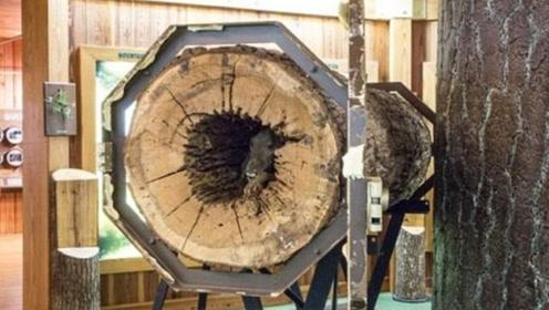 美猎犬被卡橡树树干中活活饿死 20年后变成木乃伊