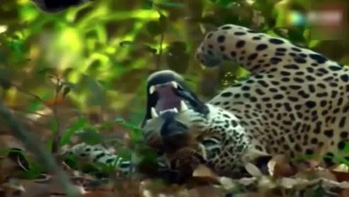 动物世界最激烈的大猫争霸,东北虎遇上孟加拉虎,谁更厉害?