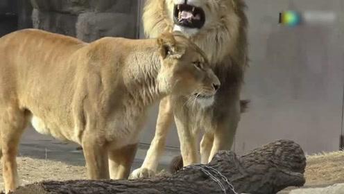 争宠的时刻,看见雄狮和其它母狮呆一起,连忙上来阻扰!