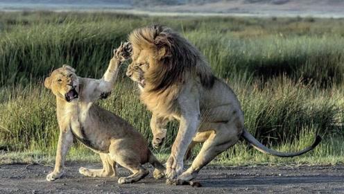 """真实版河东狮吼!""""泼妇""""雌狮掌掴老公 雄狮上唇被打出血"""