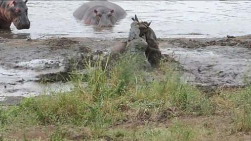 弱肉强食罕见一幕 河马从鳄鱼口中救下牛羚