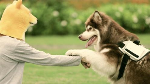 阿拉斯加犬的体力能比得上几个成年人?