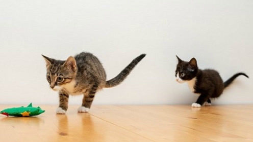 英国猫咪兄弟同缺后肢 靠前腿坚强过活