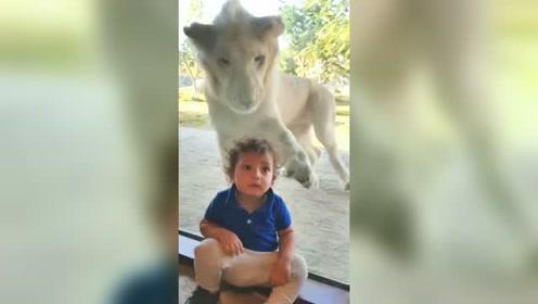 狮子隔着玻璃攻击小男孩