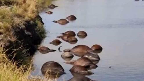 逃避狮子追捕 400多头水牛集体跳河溺死
