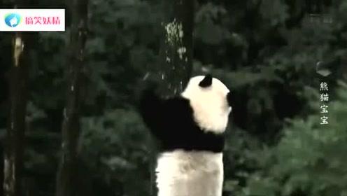 淘气的熊猫宝宝在树上和蜜蜂抢地盘,被蛰的无处可藏,真丢脸啊