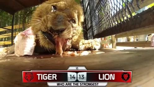 老虎和狮子大比拼,它们真是捕猎高手