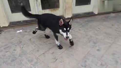 狗狗第一次穿鞋,它的反应很滑稽,网友:这是喝高了吧!