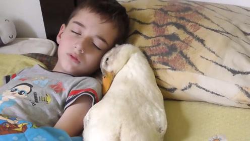 高颜值小主人和宠物鸭子一起午休,这鸭子睡觉的姿势绝了