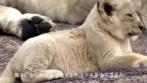 鬣狗捕杀小狮子,不料狮王回家后悲剧了,镜头记录复仇全过程!