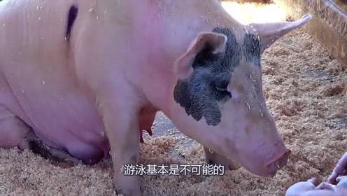 """海里发现会游泳的""""猪"""",身体圆胖还一戳就破,真是玻璃心!"""