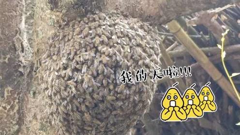 密恐慎入!大爷秀无防护抓蜂神技,一管一盖蜜蜂排队走