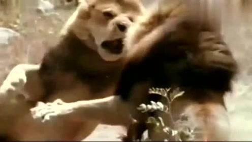 这才是狮王与狮王之间的战争,看这架势,我以后都不敢靠近狮子了