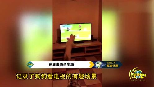 可爱!苏格兰狗狗观看电视节目,欲参加狗狗接飞球比赛