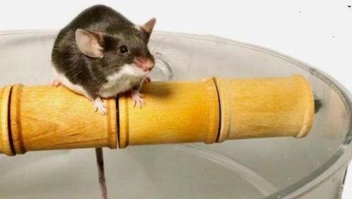 老外用滚筒陷阱对付老鼠,老鼠上去就傻眼了,站都站不稳!