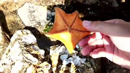 赶海时海星躲在石头后边,小哥一下揪出来两个,好看吗