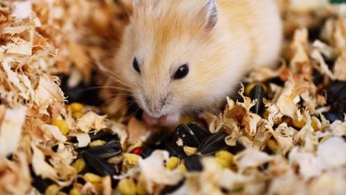 为什么仓鼠要吃掉自己的便便?里面可都是好东西