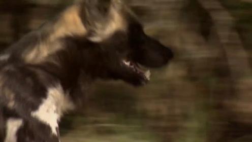 野狗们奔跑在草原上,它们四肢有力,奔跑速度十分快!