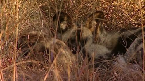 野狗们躺在草丛中,它们的皮毛颜色暗淡,躲在草丛中难以发现!