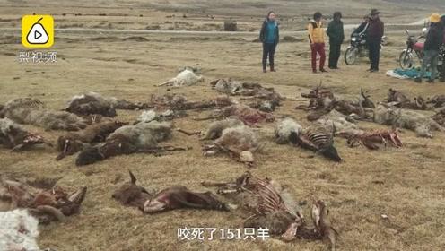 青海草原狼群出没咬死151只羊:尸骨遍地 有些被吃了一半