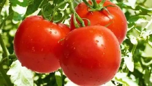 想要看西红柿有没有打激素,看2点便知道了