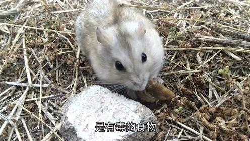 如果仓鼠在外面离开了主人,会面临什么?爱它请带它回家!
