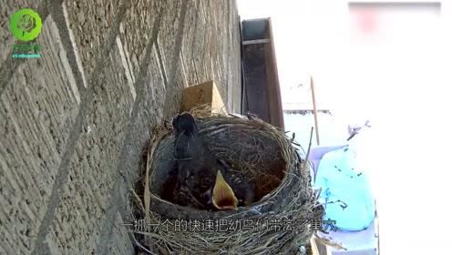 小鸟误认为妈妈回来喂食,想不到却是悲剧的开始,镜头拍下全过程