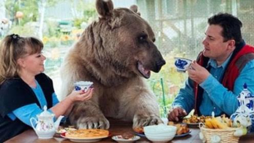 史诗级硬核养宠物,俄罗斯夫妇23年前收养小棕熊,如今大变样!